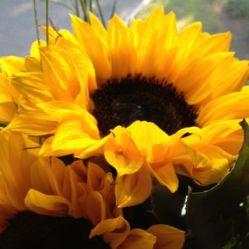 Sunflower@Stony Brook