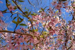 weeping cherry 1